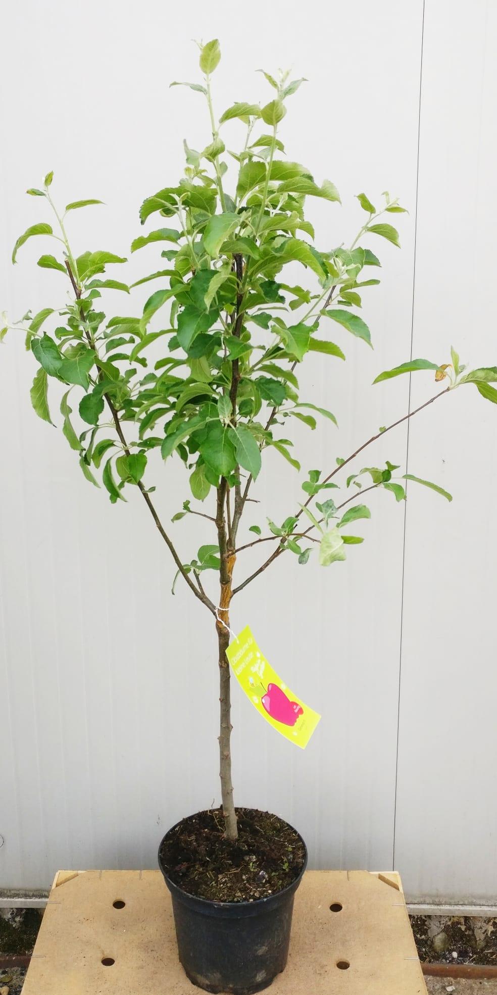 Alberi Nani Da Giardino alberi da frutto nani v22